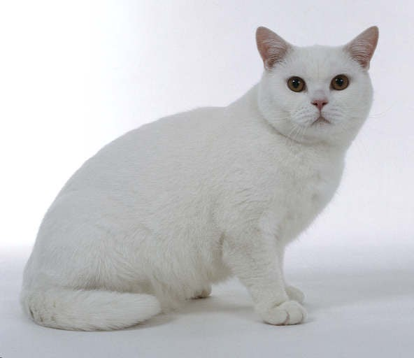 kitty cat meow british white shorthair shorthaired cats