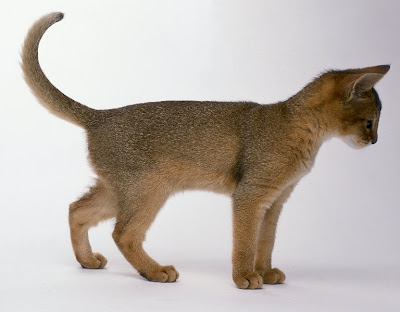 Kitty Cat Meow: Abyssinian - Shorthaired Cats Usual Abyssinian Kittens