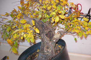 Oklahoma collected winged elm-First work Fter+rough+pruning967