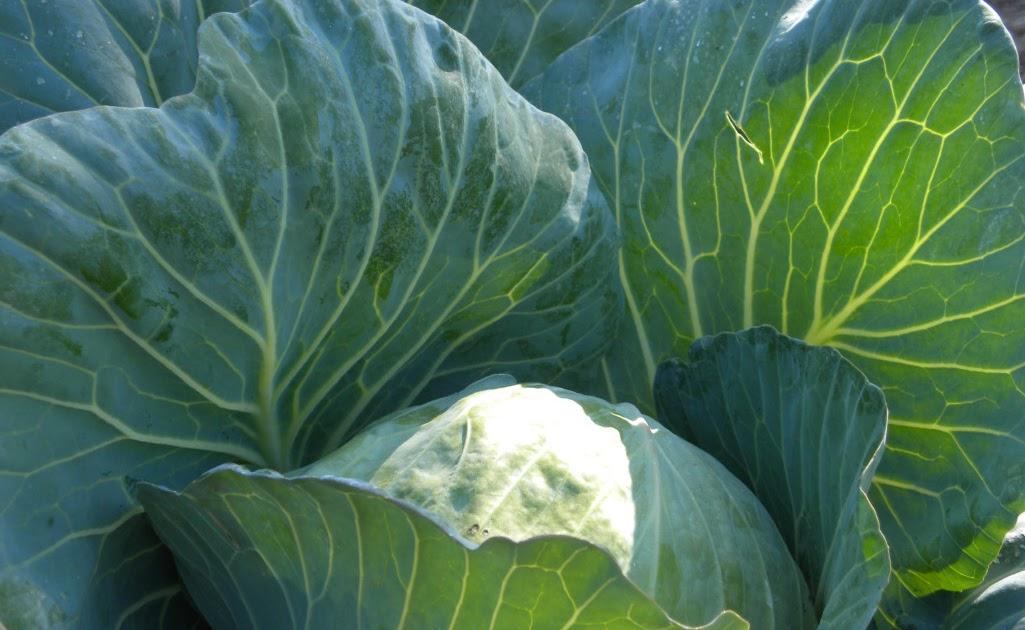 cabbage world s best lasagna best shortbread in the world world s best ...