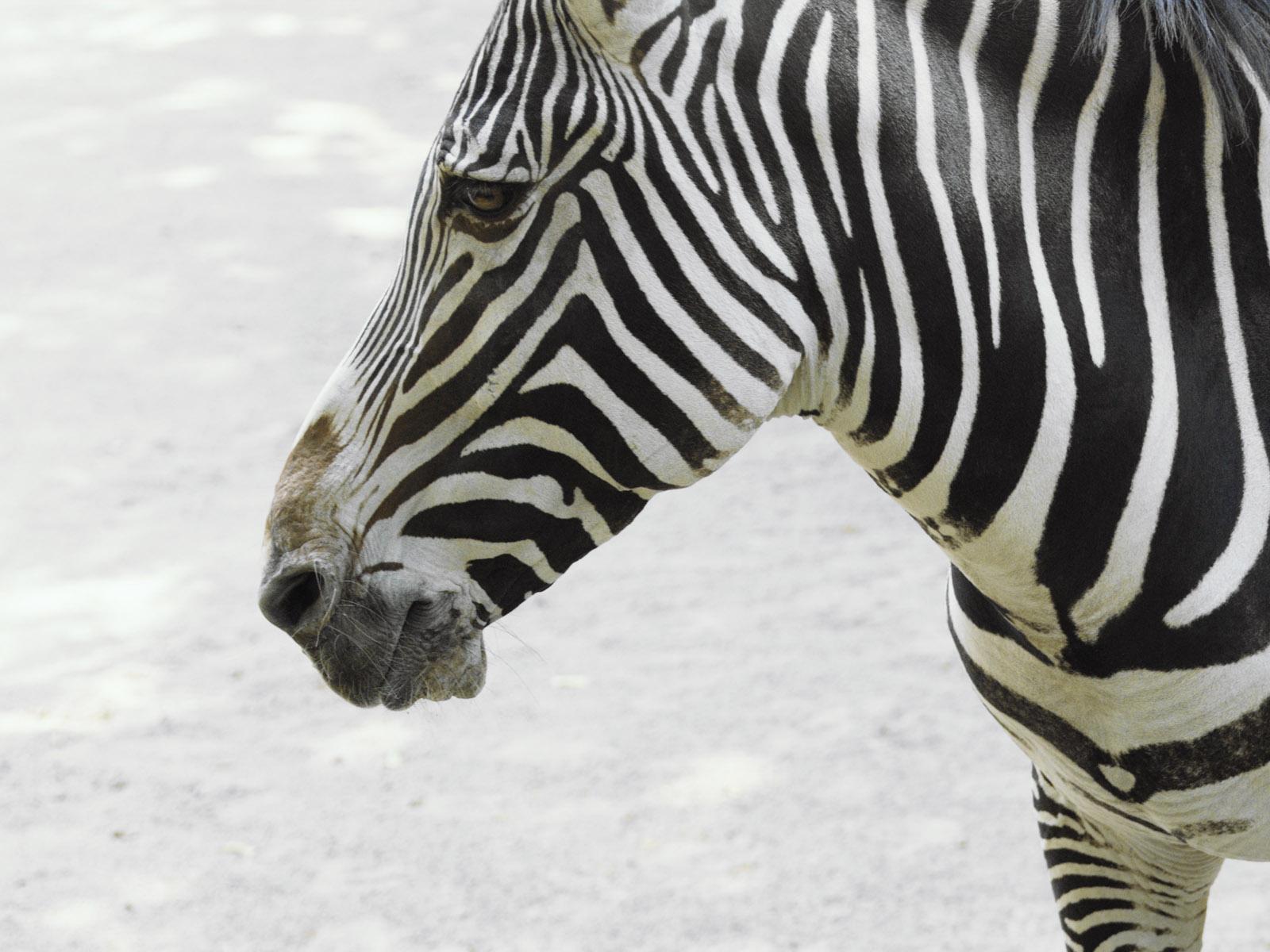 http://3.bp.blogspot.com/_sRGU_JXOz6E/TRfcete4sgI/AAAAAAAAAm4/4FfF2Jee48U/s1600/zebra+wallpaper+%252861%2529.jpg