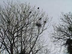 Rooks nest at Nolton Church