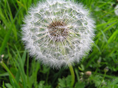Dandelion oh so delicate