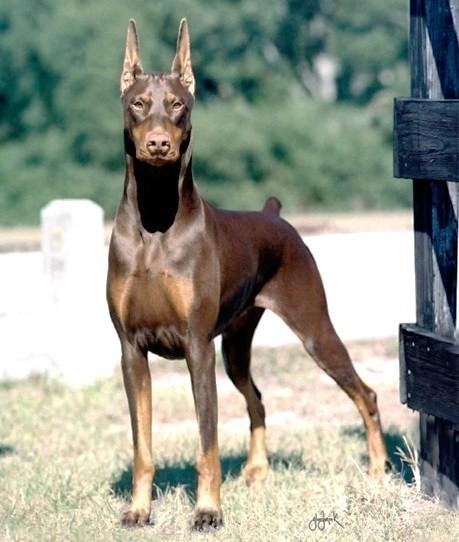Domain Pinscher Dog