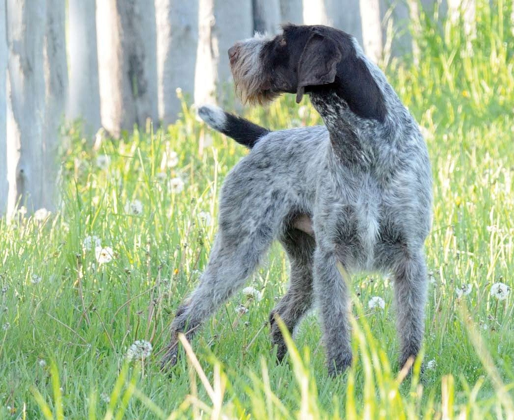 Wirehaired Griffon Terrier