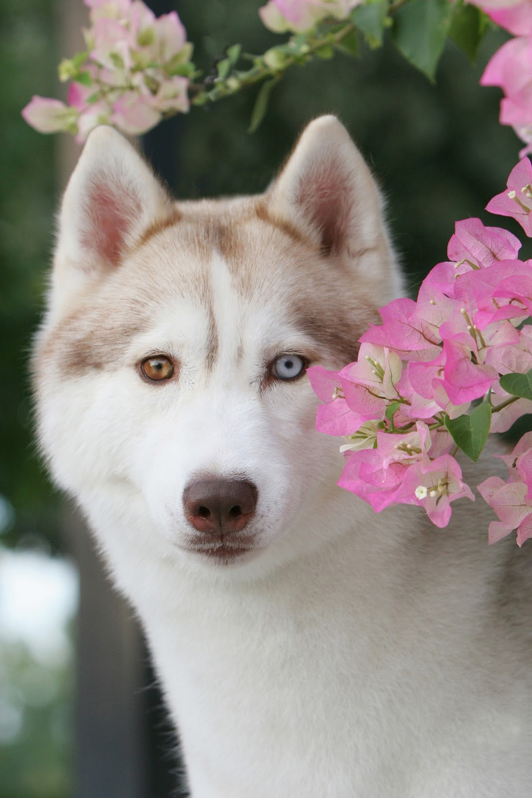 Image Result For Siberian Husky Gifts