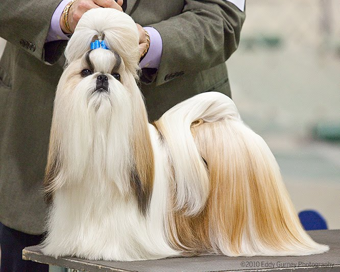 Dog Show Poop Shih Tzu Tops In Mi
