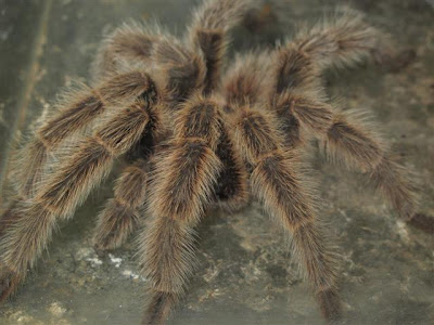 A big hairy spider