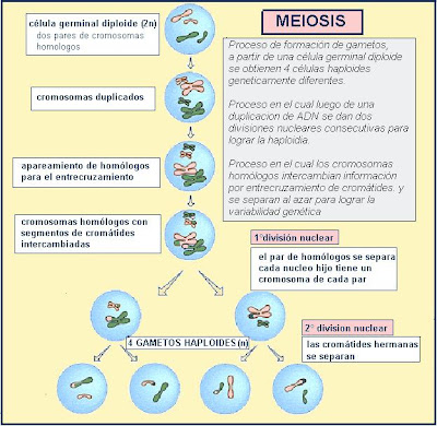 Along with female meiosis diagram also mitosis and meiosis coloring
