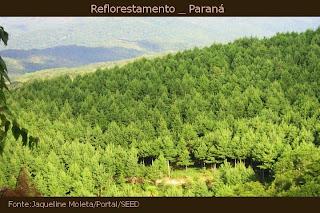 reflorestamento de pinheiros