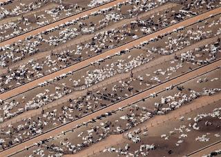 Daniel Beltra - criação de gado