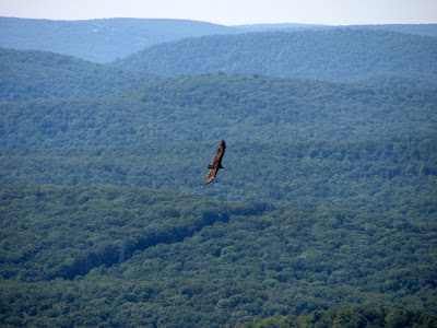 A vulture soars over the valley