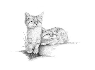 sand cats graphite pencil drawing