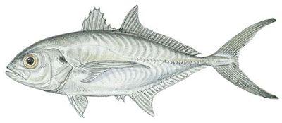 Fish identification blue runner caranx crysos for Blue runner fish