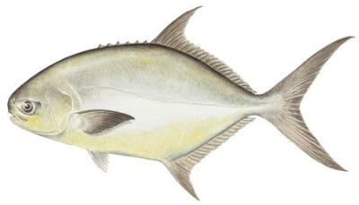 Fish identification florida pompano trachinotus carolinus for Florida pompano fish