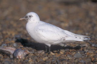Image of a seagull