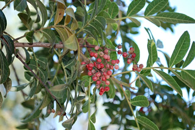 Brazilian Pepper Tree http://onionsandpeppers.blogspot.com/