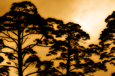 Tree Top Silhouettes