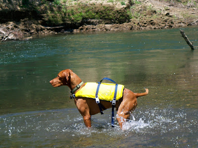 Captain the Vizsla swimming