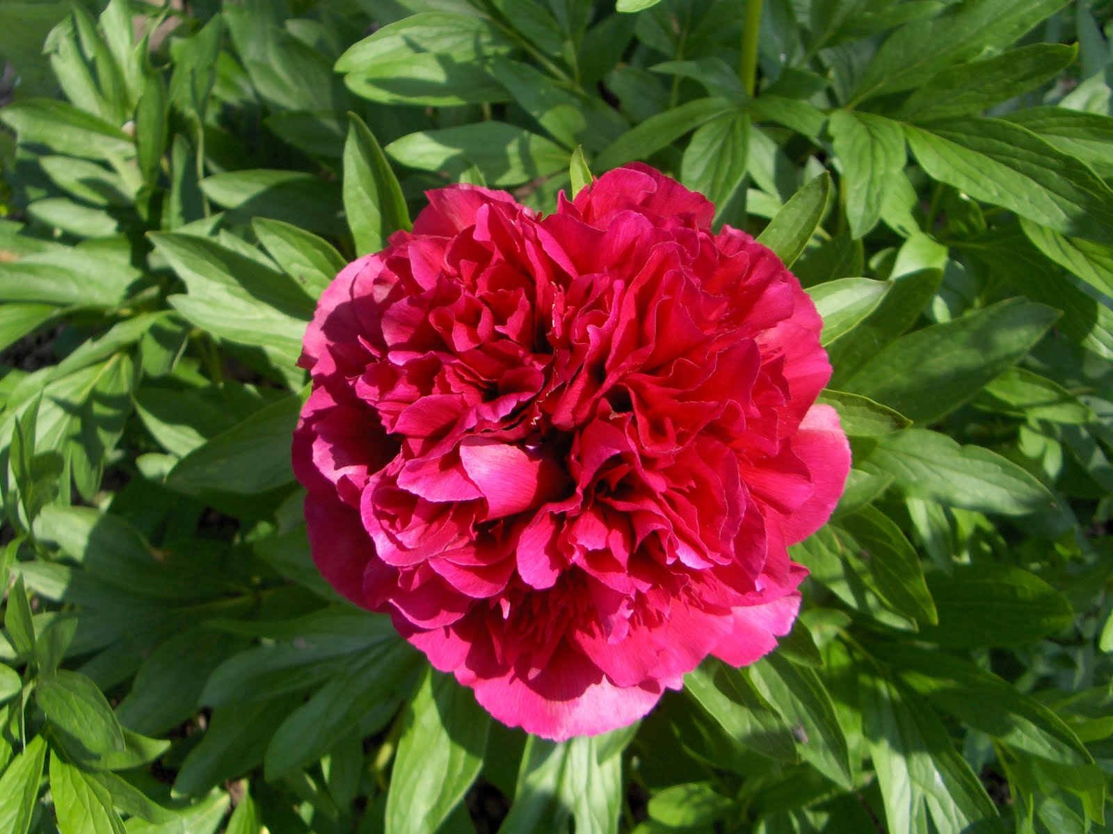 Busy bee my peonies for Paeonia officinalis