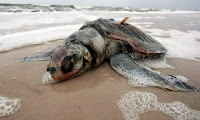 Drilling apologists will tell you there is no proof this turtle dies from the oil spill.