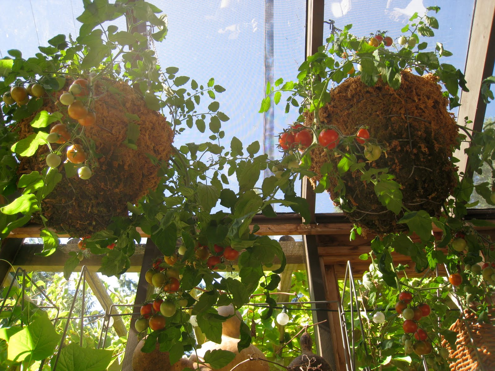 How much to water tomatoes in containers - Every Spring For 4 Years Now I Ve Been Starting A Couple Hundred Tumbler Tomato Plants From Seed I Sell Most Of Them At The First Farmer S Market Of The