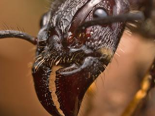 Hormiga bala. Su picadura causa un dolor extremo