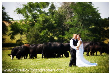 Cows in pastures pictures of wedding