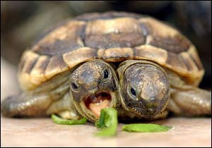 Tortoise With Two Headed in Wellington, South Africa pics gallery
