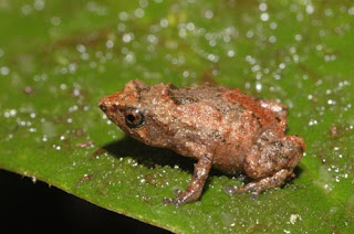 Small Frog of New Species Found in Indonesia pictures images pics photos gallery