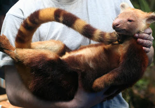 Tree Kangaroo of New Species Found in Indonesia pictures images photos pics gallery