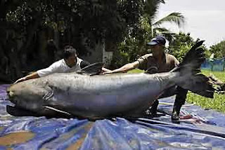 The Mekong Giant Catfish pictures images photos pics gallery