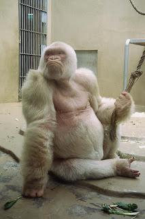 Floquet de Neu Albino Gorilla pictures images pics photos gallery