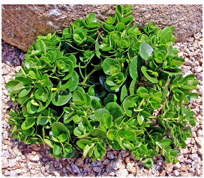 Replace likewise Carissa Macrocarpa Boxwood Beauty further 381869505994 as well Replace besides Post Celebrates American Ingenuity. on car lighter cover