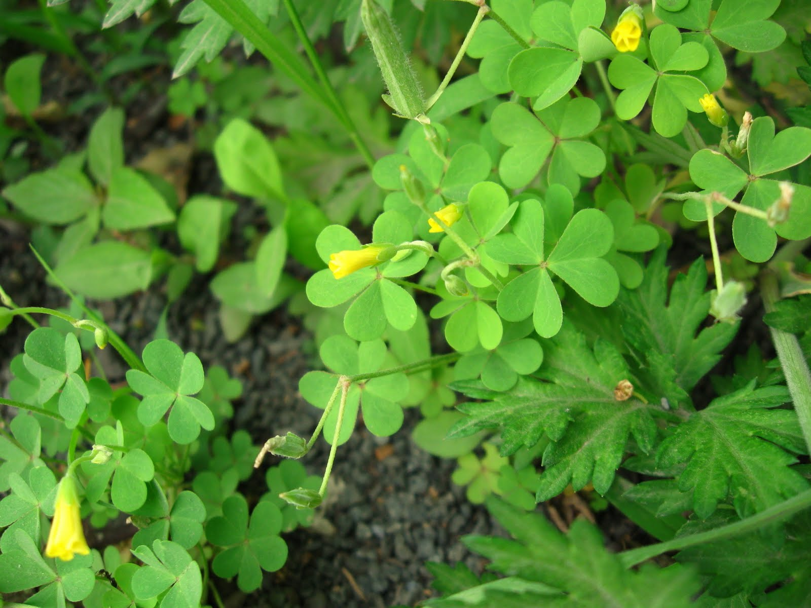 New York City Wildflowers Yellow Wood Sorrel