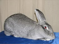 Giant Chincilla