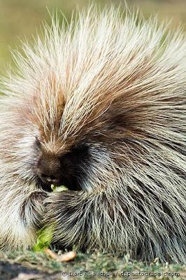 http://3.bp.blogspot.com/_t-wKC5b4rk4/SYDzHqReKrI/AAAAAAAAB20/QoJKXBUE3bo/s400/Porcupines_-_002.jpg