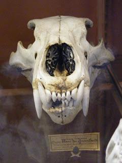 Ursus Arctos Skull