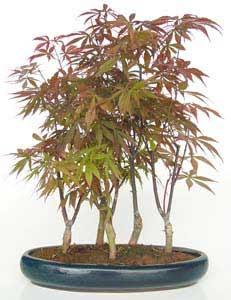 Jardinitis la poca de poda del bonsai - Poda de hortensias epoca ...