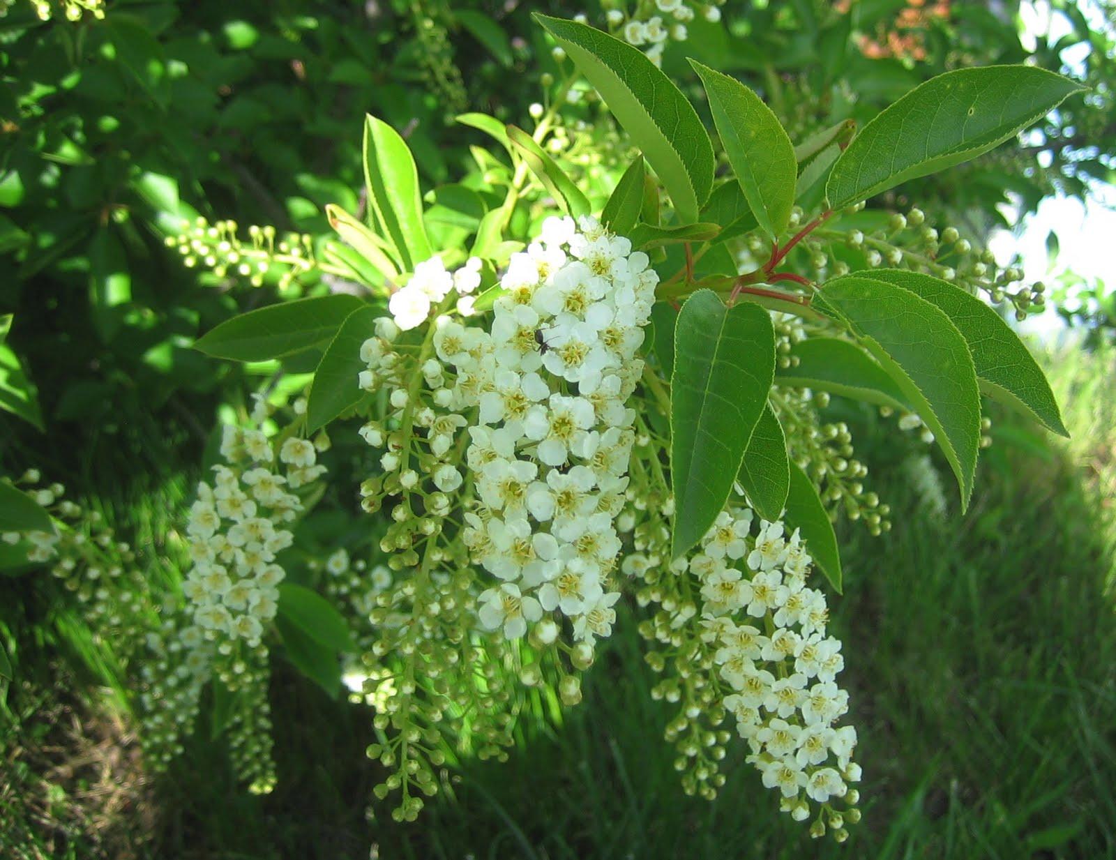 http://3.bp.blogspot.com/_t4MIXLdITZw/TCkEb0TMRtI/AAAAAAAAGzw/VmQoGiLmleg/s1600/Chokecherry+Blossoms+Prunus+virginiana.JPG