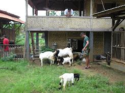 Sedia: susu Kambing untuk mengobati berbagai penyakit