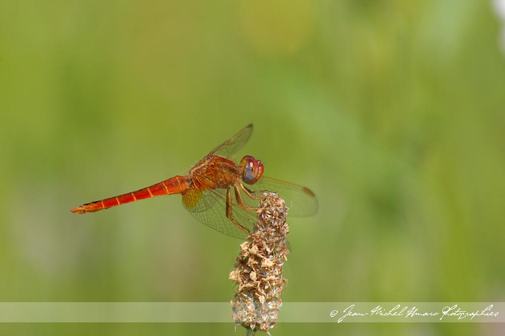 Libellules de france et dailleurs dragonfly world j 39 ai - Parole de j ai attrape un coup de soleil ...