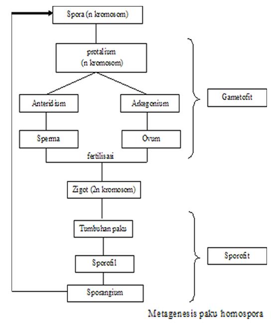 Metagenesis Paku Homospora