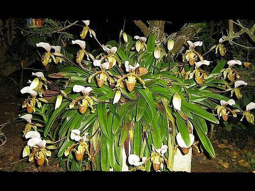 [orquídea+spatinho.jpg]