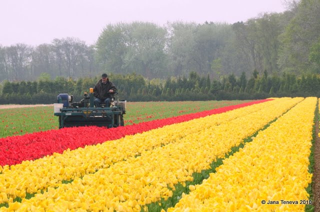 Cutting tulips Holland