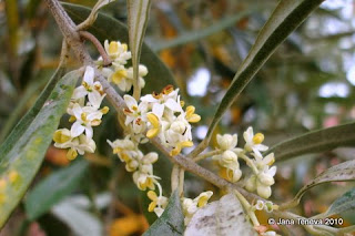 Calabria olive tree blossom