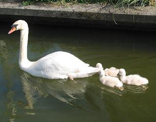 La famiia de cisnes aumenta en el Pasatiempos