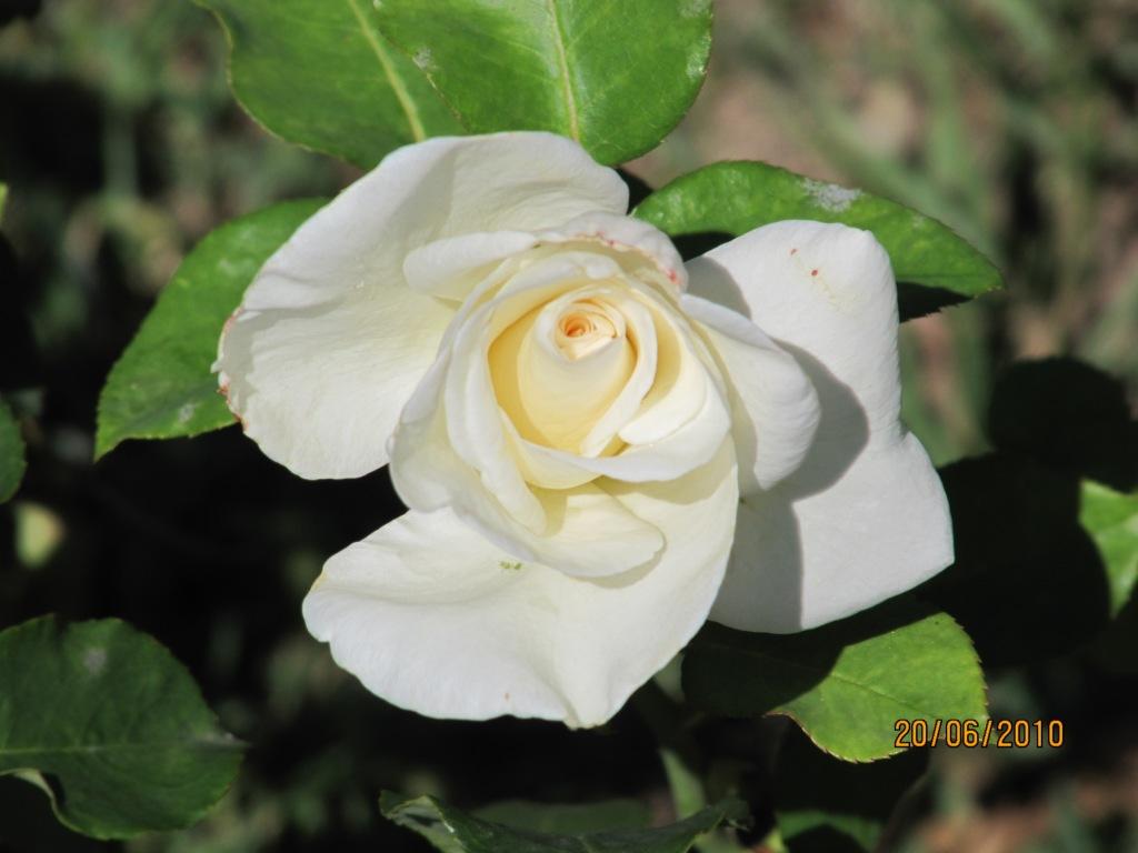 Culiblanco por francisco nieto las rosas flores y - Significado rosas blancas ...