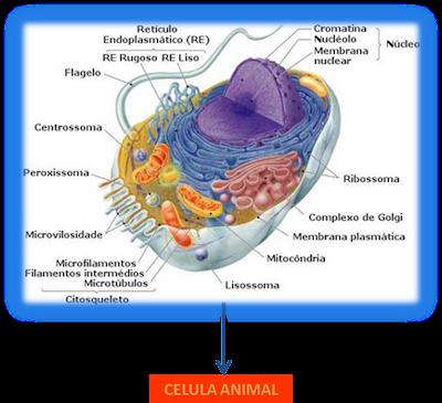 celula animal y celula vegetal. celula vegetal e animal. celula animal. bem como a célula animal; bem como