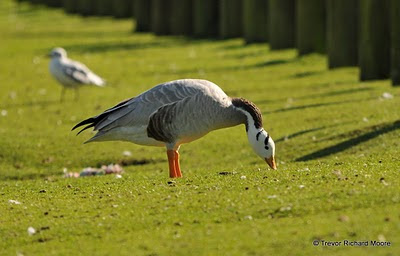 Bar-headed Goose. Click to Enlarge